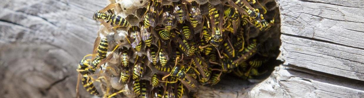 pest control edinburgh - wasp nest removal